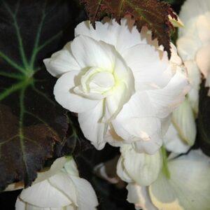 Begonia Non Stop White 1L Pot