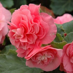 Begonia Non Stop Pink 1L Pot