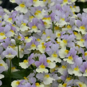 Nemesia Easter Bonnet 1L Pot