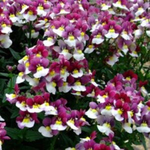Nemesia Painted Plum 1L Pot