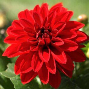 Dahlia Patio Planter Red 25cm