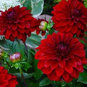 Dahlia Patio Planter Red 25cm