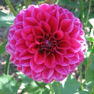 Dahlia Patio Planter Pink 25cm