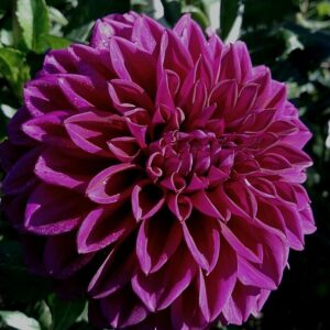 Dahlia Patio Planter Purple 25cm