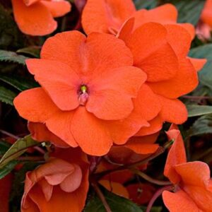 New Guinea Impatiens Patio Planter Orange 25cm