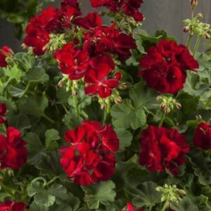 Geranium Patio Planter Burgundy 25cm