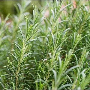 Rosemary 1L Pot