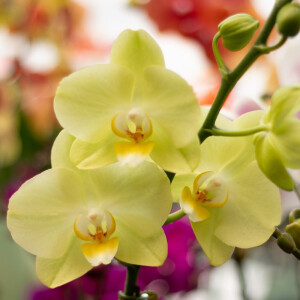 Moth Orchid (Phalaenopsis) Yellow 12cm Pot