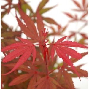 Acer Palmatum Shaina 19cm Pot