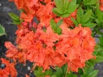 Azalea Deciduous Orange 5L Pot