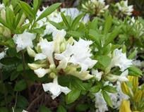 Azalea Deciduous White 5L Pot