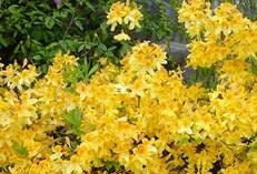 Azalea Deciduous Yellow 5L Pot