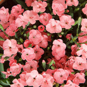 Dianthus Peach Party 10.5cm Pot