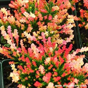 Spring Tips Heathers 1L Trio