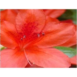 Azalea Evergreen Vuyks Orange 4L Pot