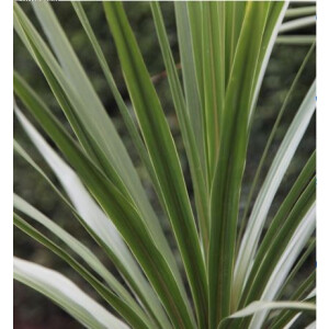 Cordyline Australis 2L Pot