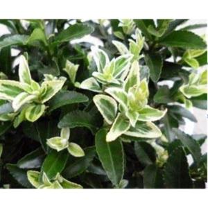 Euonymus Francien 2L Pot