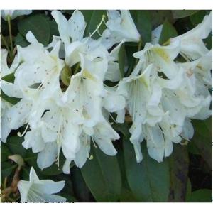 Azalea Evergreen White Surprise 4L Pot