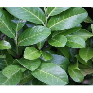 Hedging Laurel 3L Pot