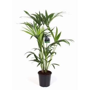 Kentia Palm (Howea Forsteriana) 19cm Pot