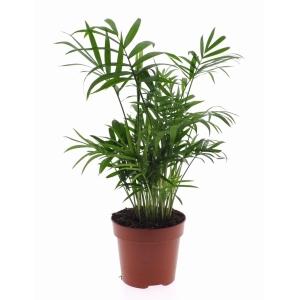 Parlour Palm (Chamaedorea Elegans) 12cm Pot