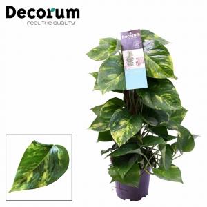 Devil's Ivy (Epipremnum Pinnatum) Moss Pole 15cm Pot