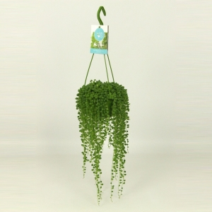 String of Pearls (Senecio Rowleyanus) 14cm Hanging Pot