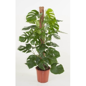 Swiss Cheese Plant (Monstera) 24cm Pot