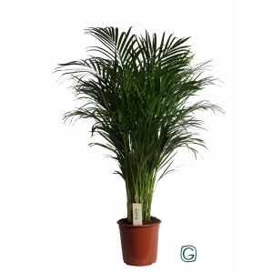 Areca Palm (Dypsis Lutescens) 24cm Pot