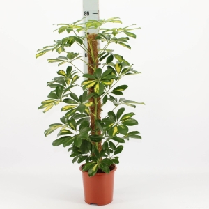 Umbrella Tree (Schefflera) Moss Pole 17cm Pot