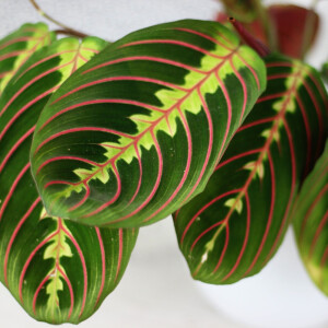 Maranta Leuconeura (Prayer Plant) Fascinator 12cm Pot