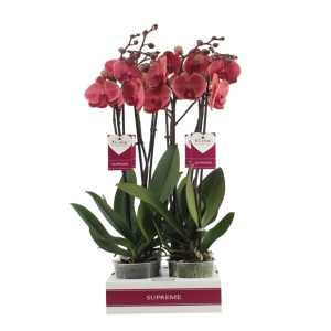 Moth Orchid Asian Coral 12cm