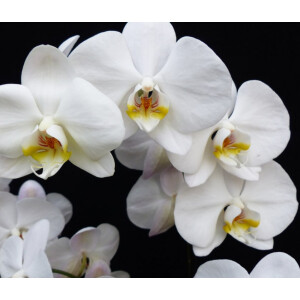 Moth Orchid White 12cm