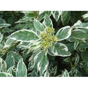 Cornus White Gold 7.5L