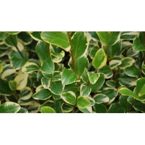 Griselinia Littoralis 3L
