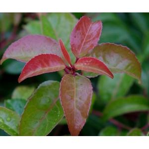 Prunus Lusitanica Tico 3L