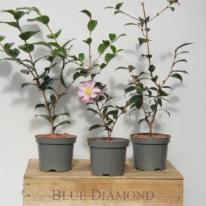 Camellia Trio 1.5L