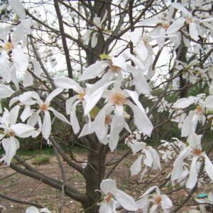 Magnolia Wadas Memory 7.5L