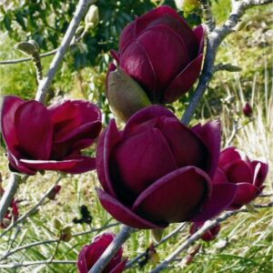 Magnolia Liliflora Nigra 7.5L