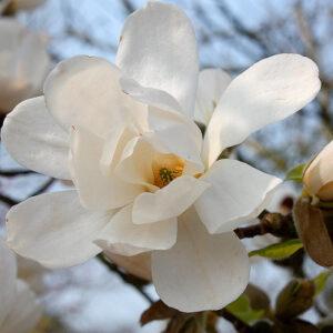 Magnolia Loebneri Merrill 7.5L