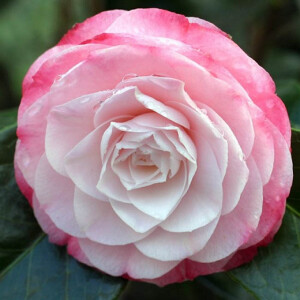 Camellia Japonica Desire 7.5L