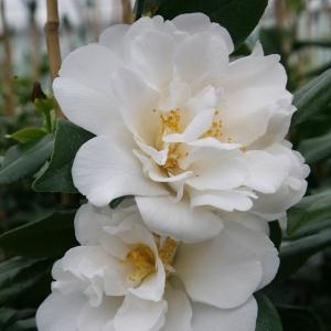 Camellia Jap Silver Anniversary 7.5L