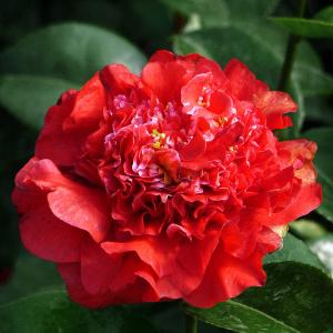 Camellia X Williamsii Ruby Wedding 7.5L