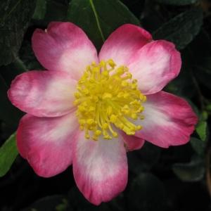 Camellia Sasanqua Rainbow 7.5L