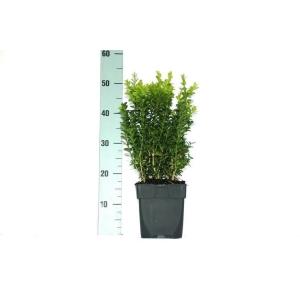 Buxus Hedging 17cm