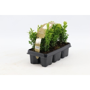 Buxus hedging 6 pack