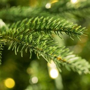 Fraser Pot Grown Tree LARGE