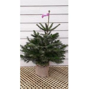 Nordman Pot Grown Tree MEDIUM