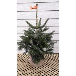 Nordman Pot Grown Tree SMALL