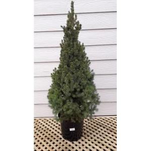 Picea Glauca Albertine Conica 7.5L